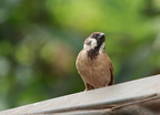 Sparrow At Koh Dach Island (7202)